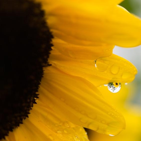 sonnenblumewasser1 (1 von 1)
